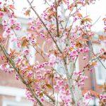 Cherry Tree Photo Taken By Amy O'Boyle